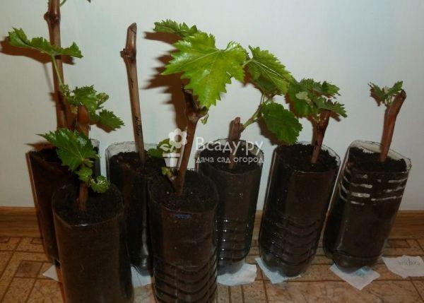 Виноград из черенков: выращивание в домашних условиях