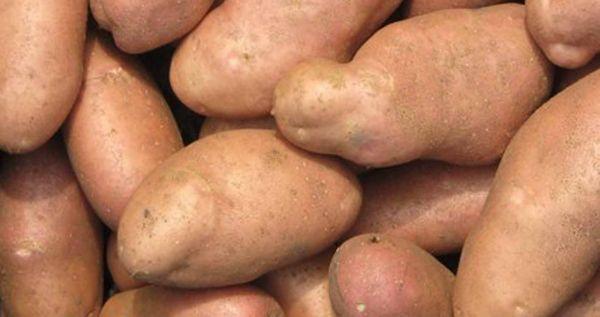 7 простых правил если их соблюдать всегда получите отличный урожай картофеля. Подробнее смотрите видео здесь