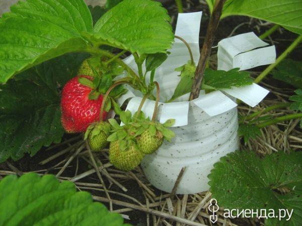 Как я делаю подставки под клубнику и сохраняю урожай