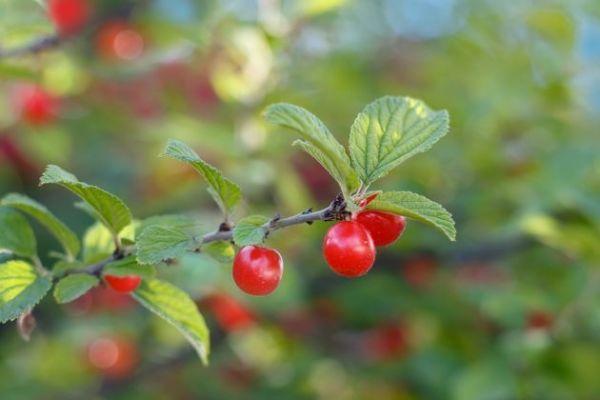 Почему на вишне мало плодов