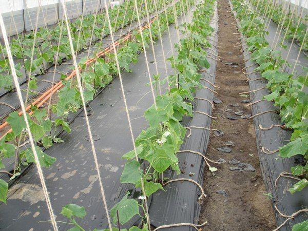 Огурцы на пленке - выращиваем без прополки!