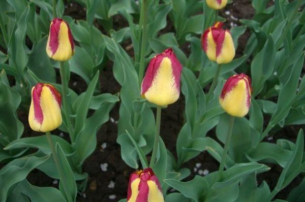 Почему лепестки цветков тюльпана стали пестрыми