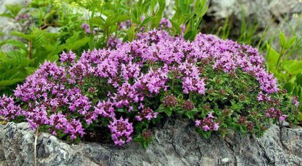 Тимьян в вашем саду: красиво и полезно!