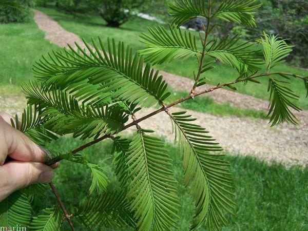 Метасеквойя: выращиваем на даче полезное ископаемое
