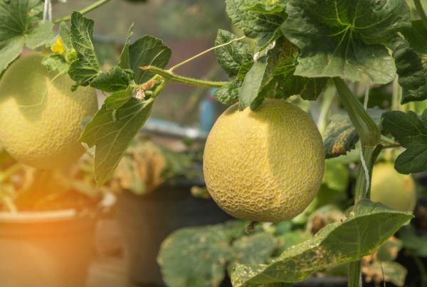 Выращивание дыни в холодных регионах: 3 условия и 3 сорта