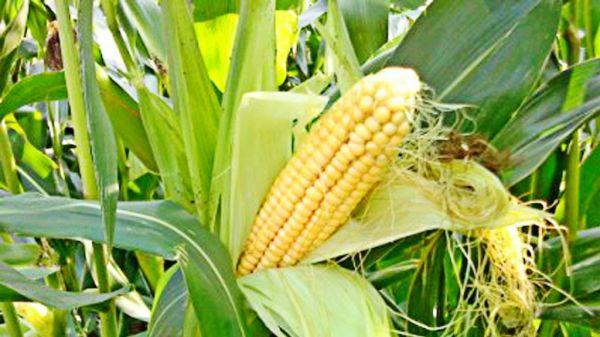 Выращивание кукурузы в огороде