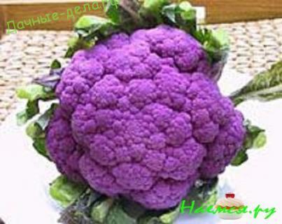 Пурпурные сорта брокколи