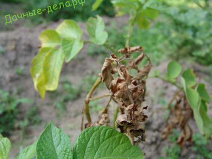 Источник инфекции картофеля