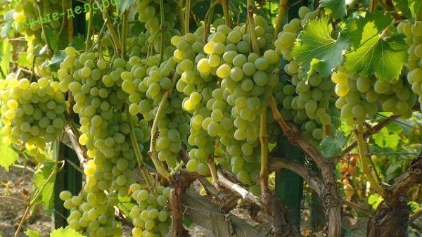 Как вырастить виноград на арке или беседке