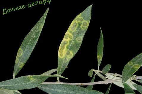Болезни и лечение оливкого дерева