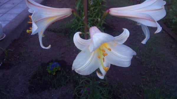 Мои лилии! Радуют глаз!