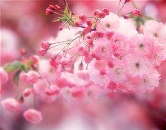 Вишневый сад — моя мечта!