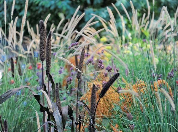 Злаки - новомодное увлечение садоводов