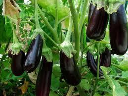 Выращивание и уход за рассадой баклажанов
