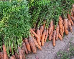 В какое время дня лучше копать морковь? 19