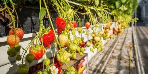 Выращиваем садовую землянику (клубнику) по голландской технологии 14