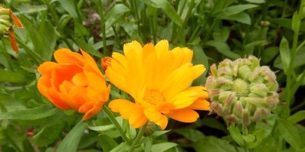 Цветы ноготки – это календула? 25