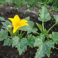 Как сажать кабачки рассадой в открытый грунт