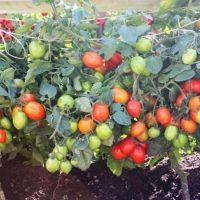 Описание сорта томата Сахарные уста, его характеристика и урожайность