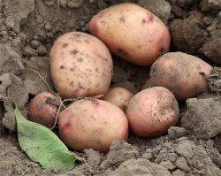 Картофель: межвидовая гибридизация 3