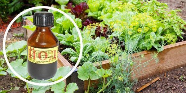 Одна капля йода, и вы не узнаете свой огород! Против фитофтороза, мучнистой росы и вредителей 6