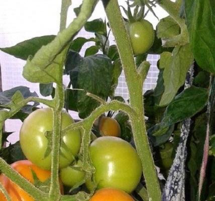 Описание сорта томата Жар-птица, особенности выращивания и урожайность 4