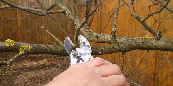 Весенняя обрезка старых яблонь 4