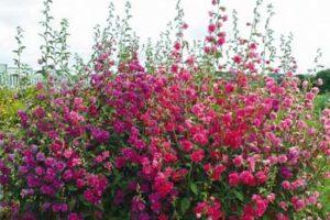Кларкия изящная – выращивание из семян 5