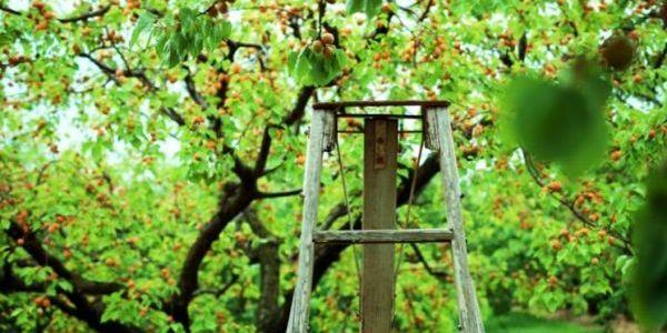 Абрикос — полезные и интересные факты 5