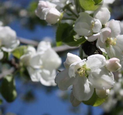 Как обрезать плодовые деревья летом – 5 простых и эффективных приемов 3