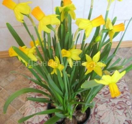 Нарциссы в горшке: как ухаживать за цветами 6