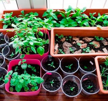 Выращивание рассады цветов 5