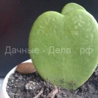 Зеленое сердце – символ любви: как ухаживать за хойей керри в домашних условиях