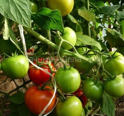 Мое открытие при выращивании томатов и не только 6