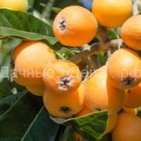 Мушмула из косточки, как вырастить фрукт в домашних условиях