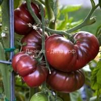 Редкие семена томатов.