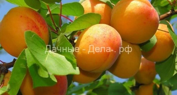 Правильный выбор подвоя — залог обильного урожая абрикосов