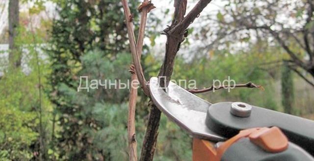 Обрезка ягодных за 4 шага. Как обработать кустарники и лианы