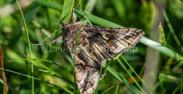 Опасные вредители. Как бороться с бабочками-совками?