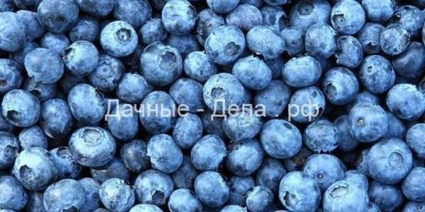 Голубика: появление, распространение, выращивание и полезные качества 1