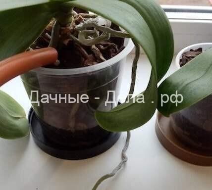 5 распространенных ошибок в поливе орхидеи: как простая процедура может сгубить растение 20