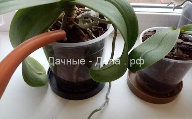 5 распространенных ошибок в поливе орхидеи: как простая процедура может сгубить растение 16