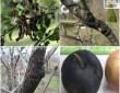 Что делать, если на яблоне трескается и отслаивается кора 20