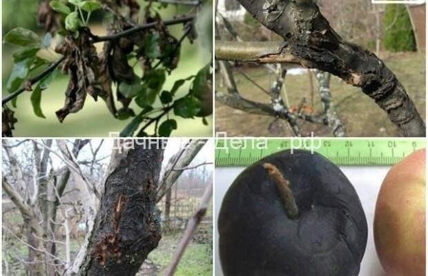 Что делать, если на яблоне трескается и отслаивается кора 18
