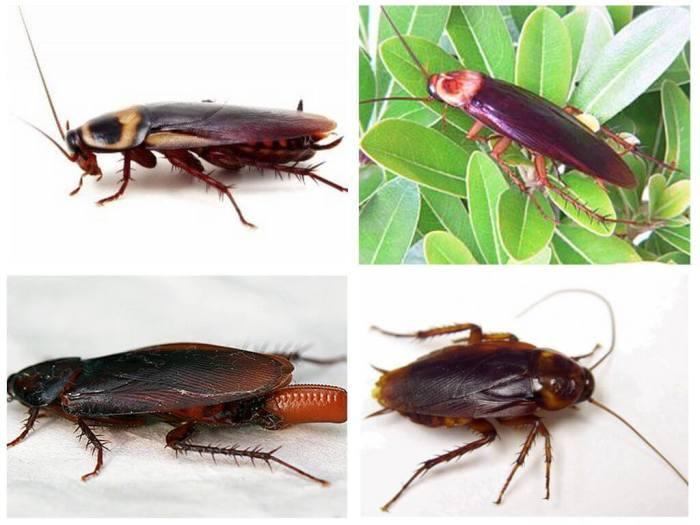 Американские тараканы в квартире фото. Как избавиться
