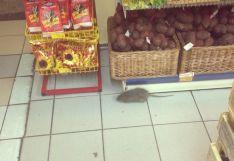 Избавиться от крыс и мышей в магазине
