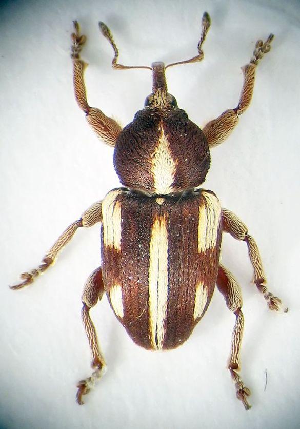 Жуки долгоносики фото. Виды жуков долгоносиков