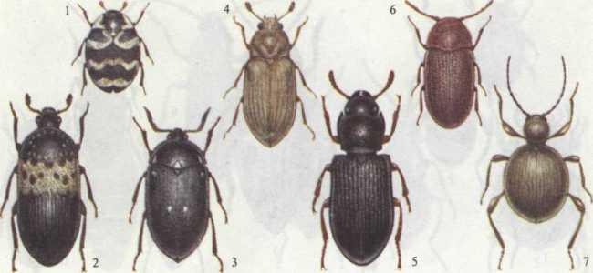 Как избавиться от жуков кожеедов в квартире?