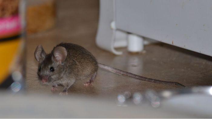 Какими опасными болезнями могут заразить мыши