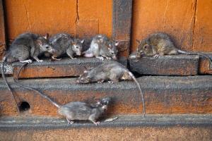 Как избавиться от грызунов в доме, квартире